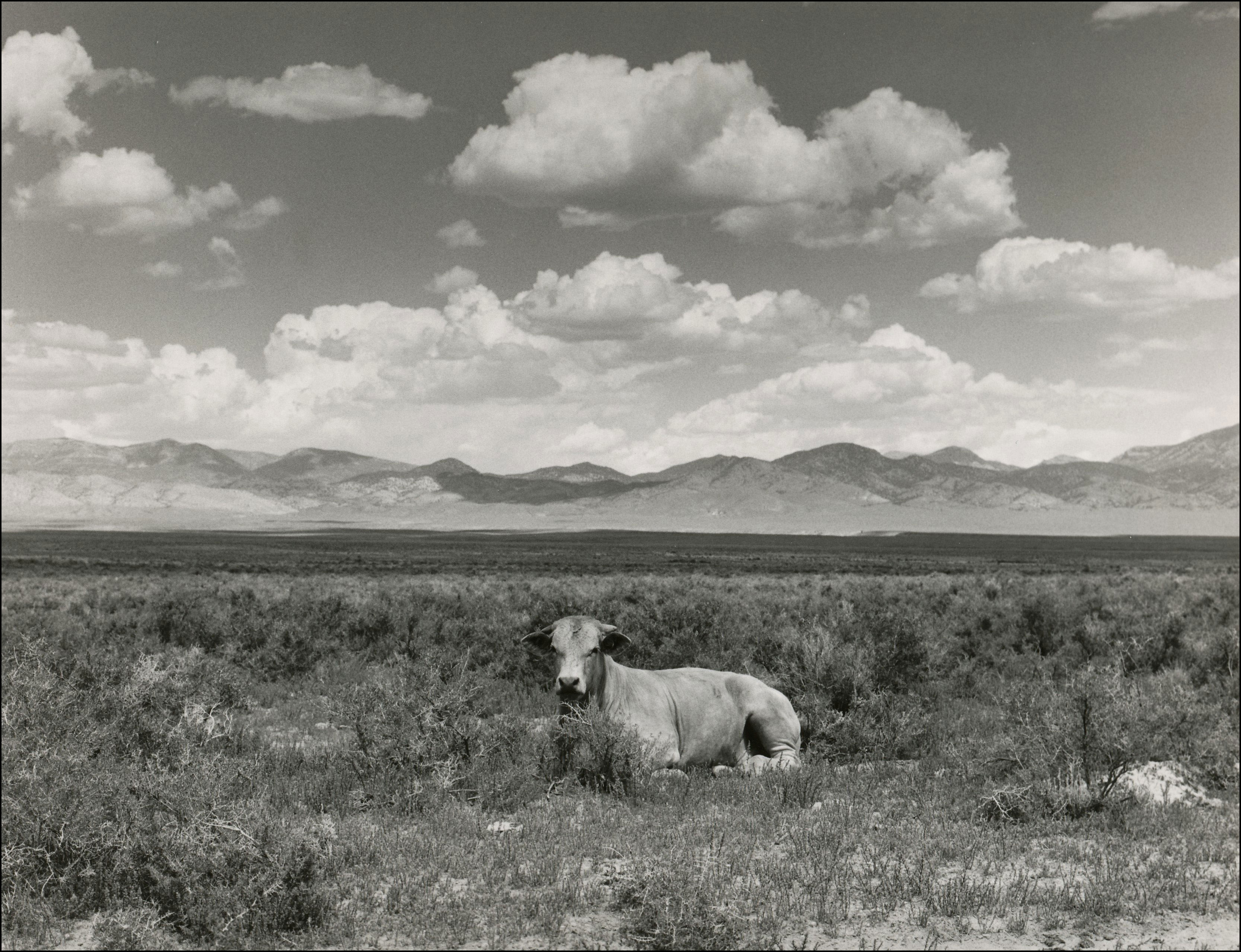 Cow sitting in open area of sagebrush. Mountains inthe background